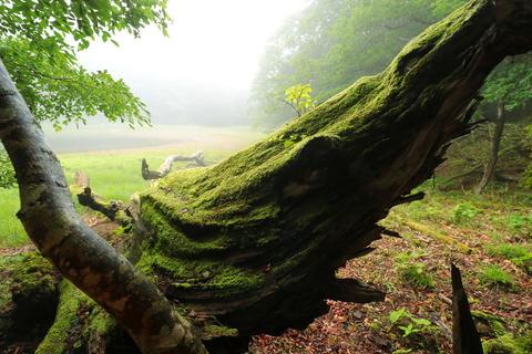 霧に包まれて森を歩く(大沼・ヨシ沼園地!)