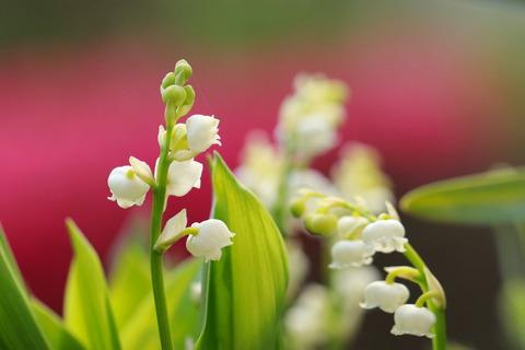 香り豊かなスズランが咲いたヽ(^。^)ノ