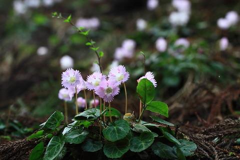 イワウチワの春の色!(栃木県那珂川町富山)