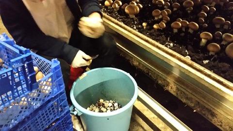 長谷川農産ブラウン収穫時作業