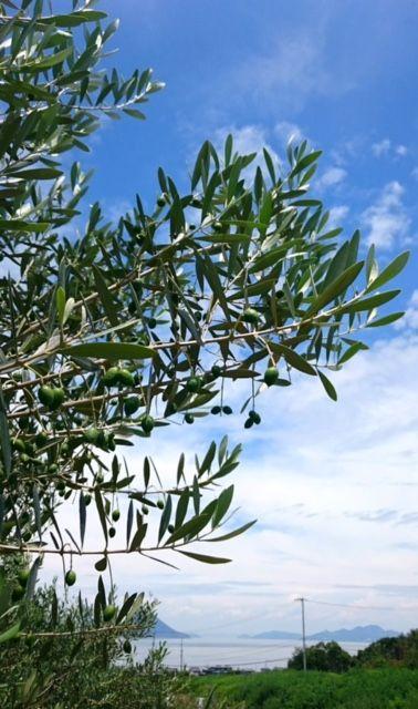 olive15