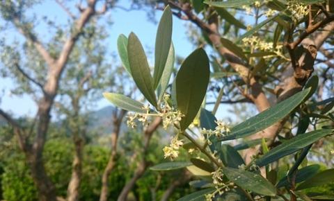olive16
