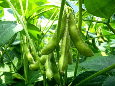 畑で枝豆アップ