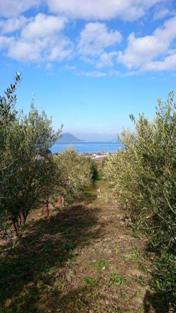 olive17