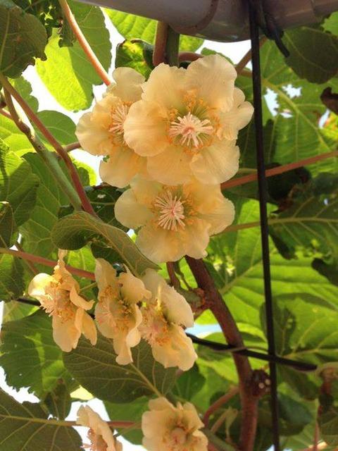 kiwi花