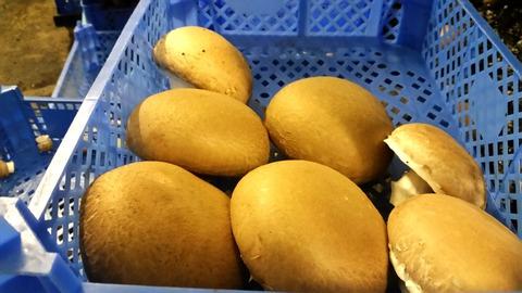 長谷川農産ブラウン収穫ビッグサイズ