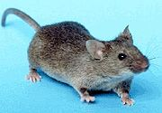 180px-House_mouse