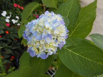 四季咲き紫陽花