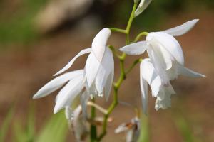 シランの花(白)