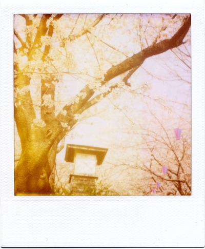 2015-3飛鳥山桜