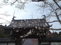 20130401sakura (1)