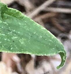 ヒメマイヅルソウ葉