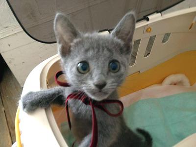 ペットモデル 仔猫