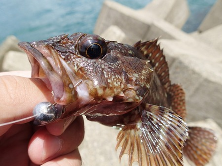 癒し系根魚