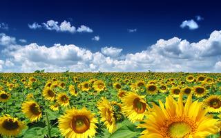 summer_sunflowers_192011