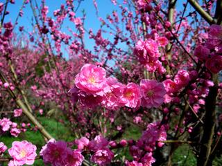 Plum-Blossom-450