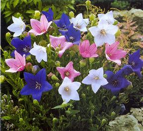 ballonflower