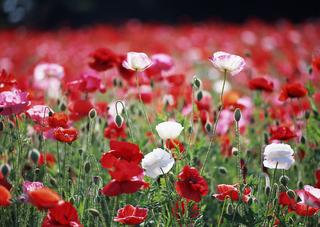 flower-poppy-field-summer-nature