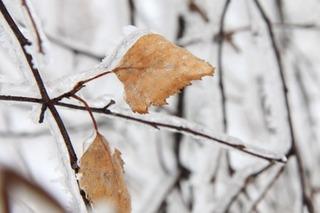 frozen_leaves_in_winter_187822[1]