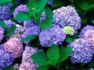 hydrangea garden-590896