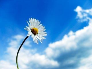 sky-flower