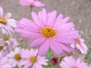 pink_flower_200322[1]