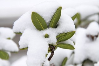leaves_covered_in_snow_184616[1]