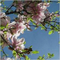 tree_flower_spring_216137[1]