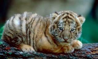 tiger_baby