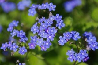 flower_blue_close_219450[1]