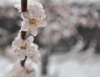 flowers_in_the_snow_204642[1]