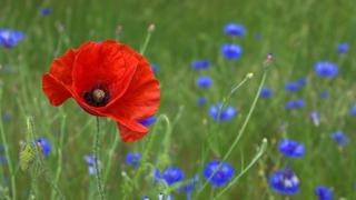 poppy_flower_nature_219157[1]