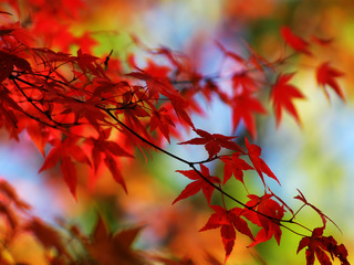 autumn leafs red