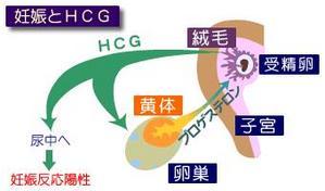 preg-HCG2