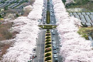 富士霊園桜