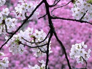 cherry_blossom_品川x1200