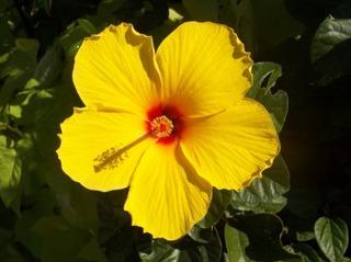 flower_yellow_flower_hibiscus_214197[1]