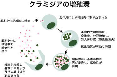 クラミジア増殖環