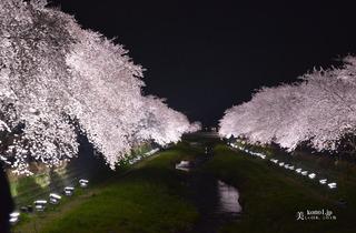 野川の桜145