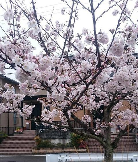 sakura-ike