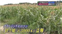 人気トウモロコシ「甘々娘」収穫直前3000本盗難 静岡