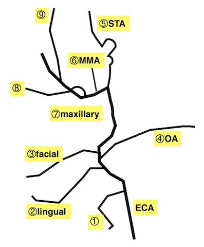 知識の卵頸動脈、椎骨動脈の分岐、略語コメント                  HMY