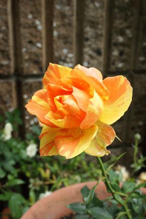 rose may2617