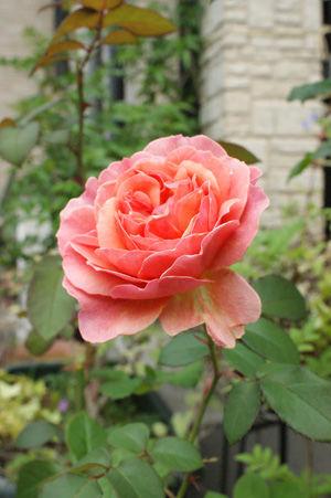 rose2 may2617