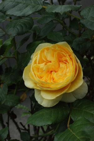 rose may0917