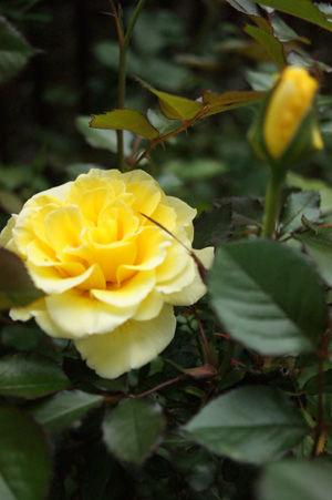 rose apr1816