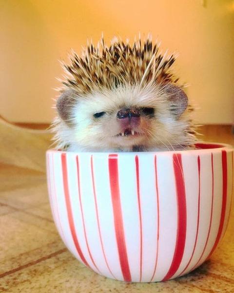vampire-hedgehog-5