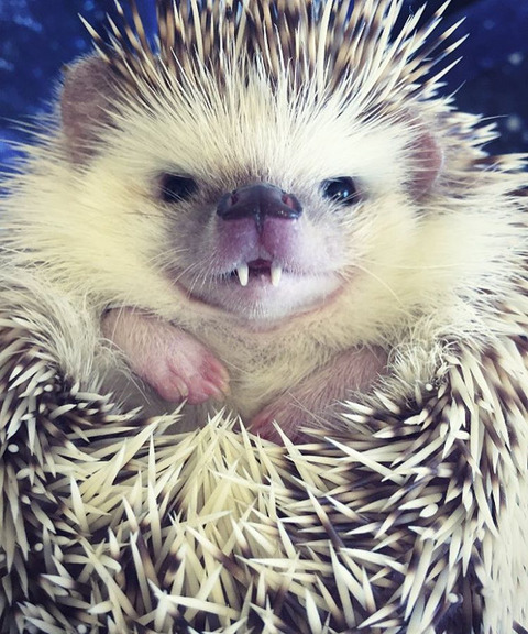 vampire-hedgehog-1