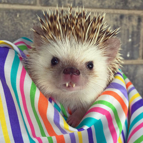 vampire-hedgehog-2