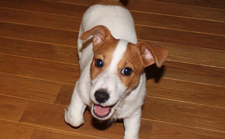 メスの飼い犬チャロ (2)